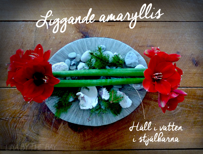 liggande amaryllis linabythebay