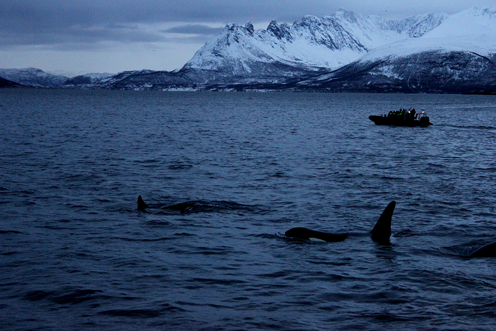 Tromsø valsafari2